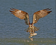 Fish Art Prints Photos - Osprey Morning Catch by Susan Candelario