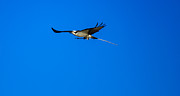Bird Photography Photos - Osprey Nest Building by Robert Bales