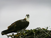 Anthony Jones - Osprey Nesting