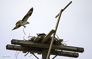 Laura Bentley - Osprey Nesting