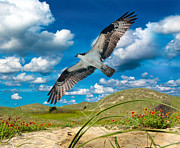 Dunes Digital Art Prints - Osprey on Shackleford Banks Print by East Coast Barrier Islands Betsy A Cutler