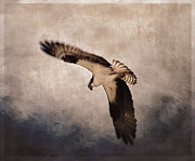 Osprey Over The Columbia River Print by Carol Leigh