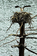 Man-made Lake Posters - Osprey Pair Nesting Poster by Thomas R Fletcher