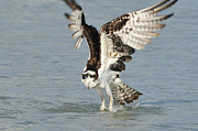 Osprey Taking Off Print by Bradford Martin