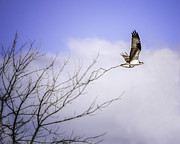 Vicki Jauron Metal Prints - Osprey Taking the Whole Tree Metal Print by Vicki Jauron