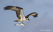 Wildlife Photography Prints - Osprey with dinner Print by Barbara Bowen