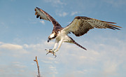 Bird Of Prey Greeting Card Framed Prints - Osprey with Talons Extended Framed Print by Jerry Fornarotto