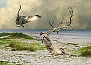 Osprey Florida Framed Prints - Ospreys Catch Framed Print by Schwartz