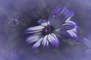 Asti Photos - Osteospermum  by Richard Cummings