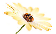 Front Room Digital Art Framed Prints - Osteospermum Sunny Flower I Framed Print by Natalie Kinnear