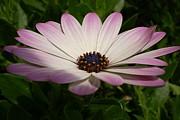 Tracey Harrington-Simpson - Osteospermum Whiter Shade of Pale