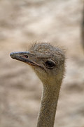 Ostrich Photos - Ostrich  by Bobbie Nickey