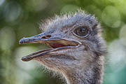 Ostrich Photo Metal Prints - Ostrich Bokeh  Metal Print by Douglas Barnard
