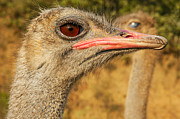 Ostrich Photo Metal Prints - Ostrich Closeup Metal Print by Jess Kraft