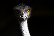 Ostrich Photo Metal Prints - Ostrich Metal Print by Daniel Kocian