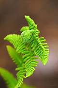 Ostrich Fern Framed Prints - Ostrich Fern Framed Print by Christina Rollo