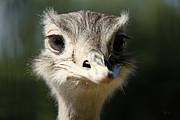 Ostrich Photos - Ostrich by Karl Hammer