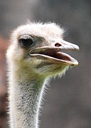 Ostrich Photos - Ostrich by Kimberly Roberts