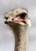 Ostrich Photos - Ostrich by Kris Mercer