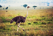 Species Art - Ostrich on savanna. Safari in Tanzania by Michal Bednarek