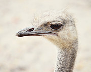 Ostrich Photos - Ostrich Portrait by Jamie Austin