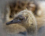 Zoo Animals Photo Prints - Ostrich portrait Print by Tessa Fairey