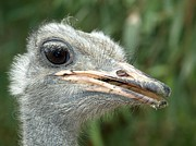 Ostrich Photos - Ostrich by Richard Brown