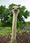 Ostrich Photos - Ostrich Says What by Cherie Haines