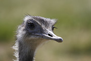 Ostrich Photos - Ostrich by Simon Gregory