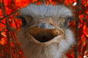 Ostrich Photo Metal Prints - Ostrich Talk Metal Print by Douglas Barnard
