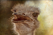 Ostrich Photo Metal Prints - Ostrich Texture Metal Print by Douglas Barnard