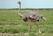 Ostrich Photos - Ostrich by Tony Murtagh