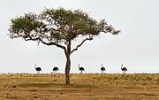 Ostrich Walk Print by Joe Bonita
