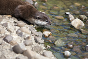 Lawrence Graves - Otter having a drink