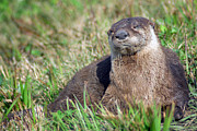 Snoozing Originals - Otter Snoozing by Aristine Lowell