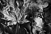 Fallen Leaf Photos - Out in the Cold by Christi Kraft
