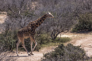 Out Of Africa Giraffe Print by Janice Rae Pariza