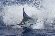 Blue Marlin Photo Metal Prints - Out of the Blue Metal Print by Carol Lynne