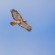 Red Tail Hawk Art - Out Of The Blue Square by Bill  Wakeley
