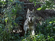 Wolves Photos - Out of the bushes by Ernie Echols