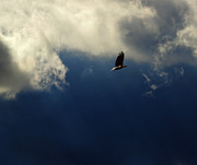 American Bald Eagle Prints - Out of the Heavens Print by Thomas Young