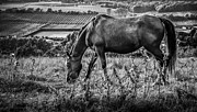 Grazing Horse Photo Posters - Out to grass Poster by Ian Hufton