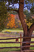 Autumn Scenes Metal Prints - Out to Pasture Metal Print by Joann Vitali