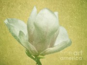 White Magnolias Posters - Outer Magnolia Poster by Jeff Kolker