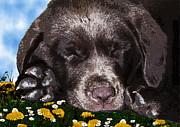 Pet Portraits Digital Art Posters - Outside Portrait of a Chocolate Lab Puppy  Poster by Chris Goulette