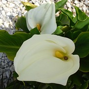 Tracey Harrington-Simpson - Overhead View Of Two Calla Lilies In A Garden