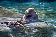 Sea Lions Photos - Overlap by Douglas Barnard