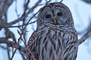 Evening Scenes Photos - Owl at Dusk by Cheryl Baxter