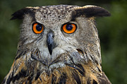 Beautiful Eyes Posters - Owl Bubo bubo portrait Poster by Matthias Hauser