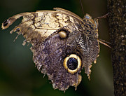 False Prints - Owl Butterfly Print by Heather Applegate